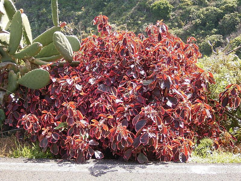 Acalypha wilkesiana (Уилкса)