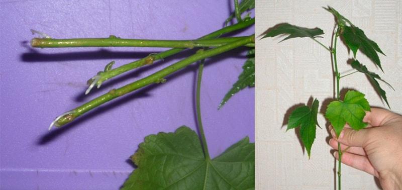 Черенок абутилона для размножения