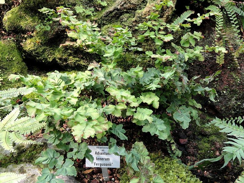 Нежный (Adiantum tenerum)