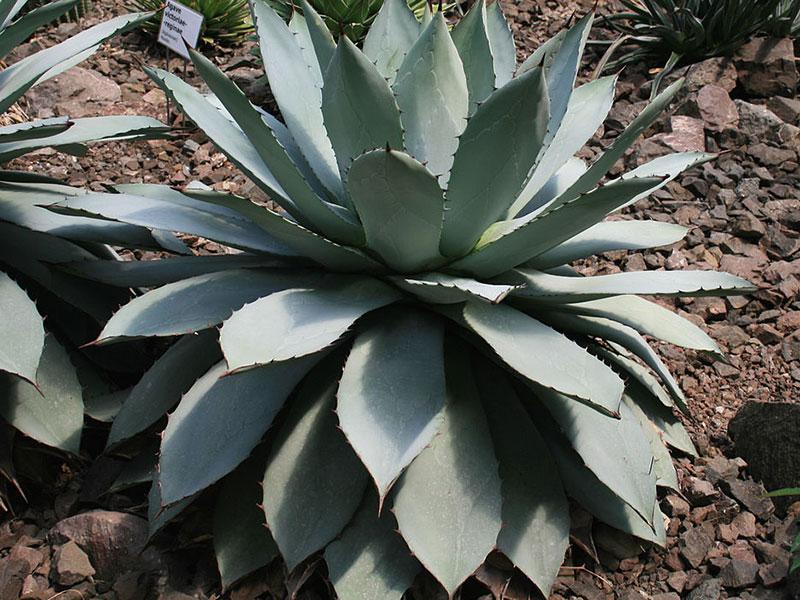 Агава Картофелевидная (Agave potatorum)