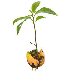 Авокадо — аллигаторова груша