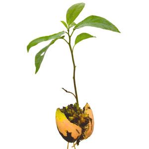 Авокадо болезни листьев
