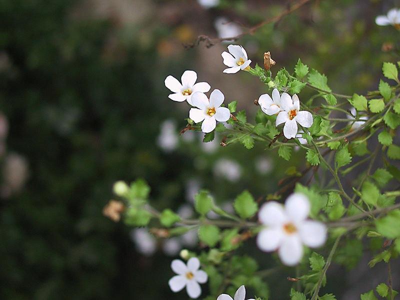 Бакопа красивая (Bacopa diffuses)