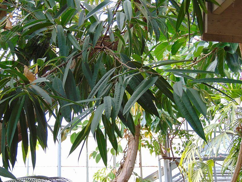 Фикус Бенедикта (Ficus Binnendijkii)