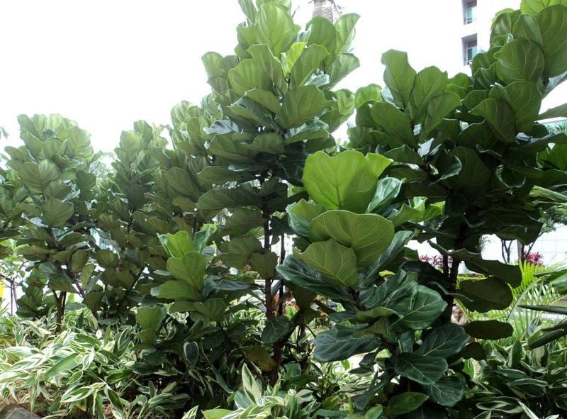 Фикус Лировидный (Ficus lyrata)