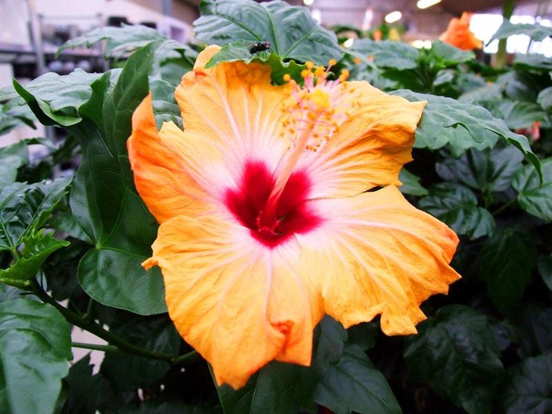 Гибискус Bangkok