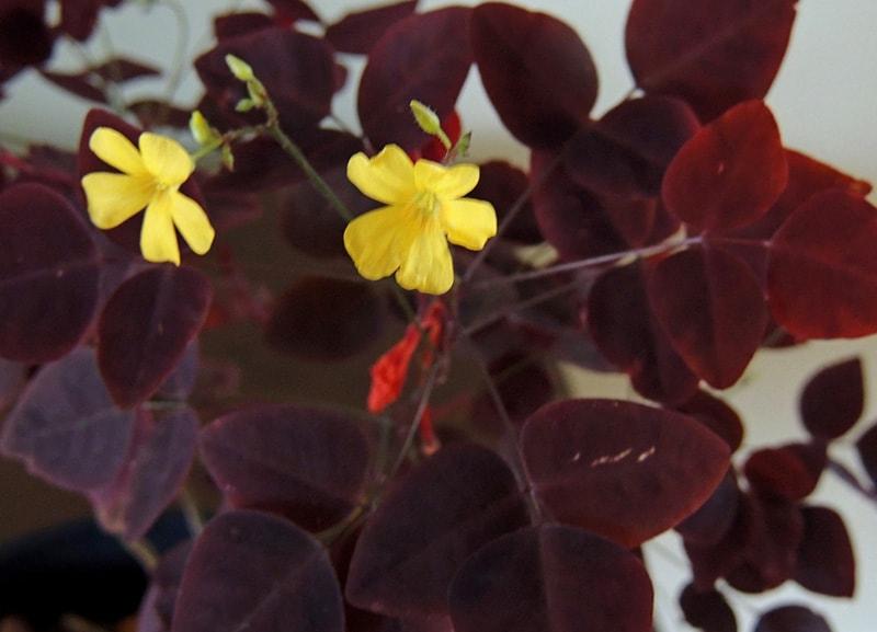 Кислица хедизариевидная (Oxalis hedysaroides)