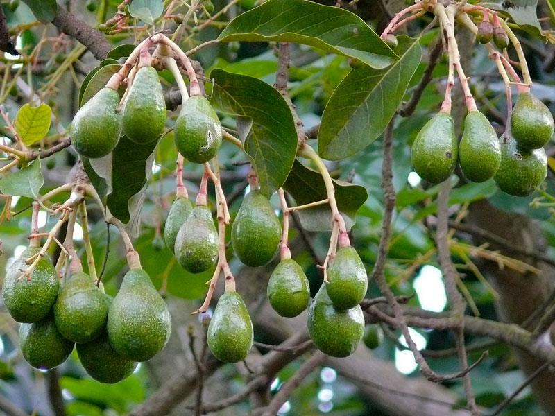 Авокадо Персея Американская (Persea Americana)