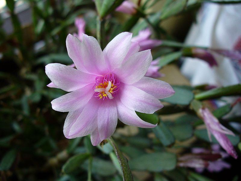 Рипсалидопсис розовый (Rhipsalidopsis rosea)