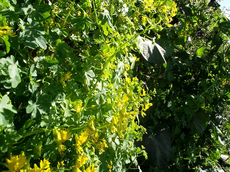 Настурция Иноземная (Канарская) (Tropaeowum peregrinum)