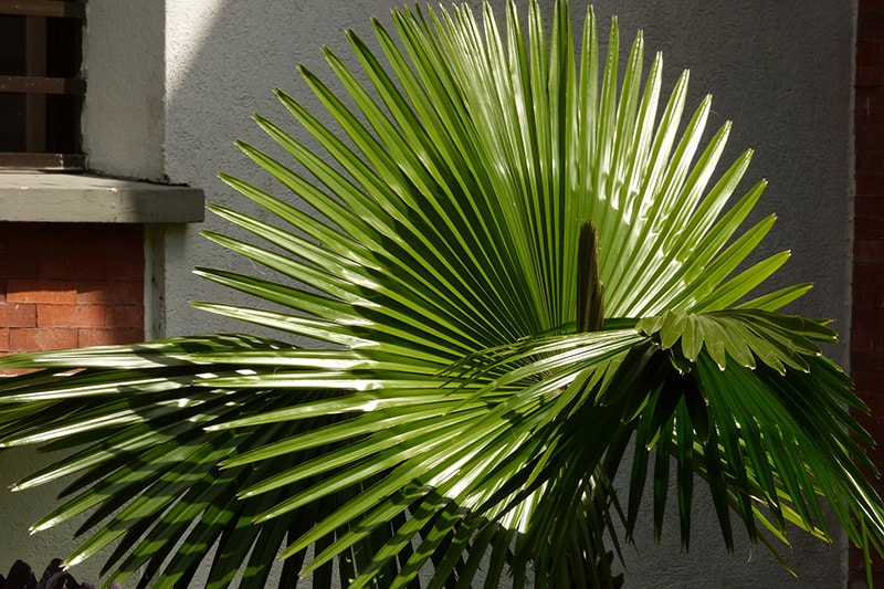 Пальма Вашингтония мощная или крепкая (Washingtonia Robusta)