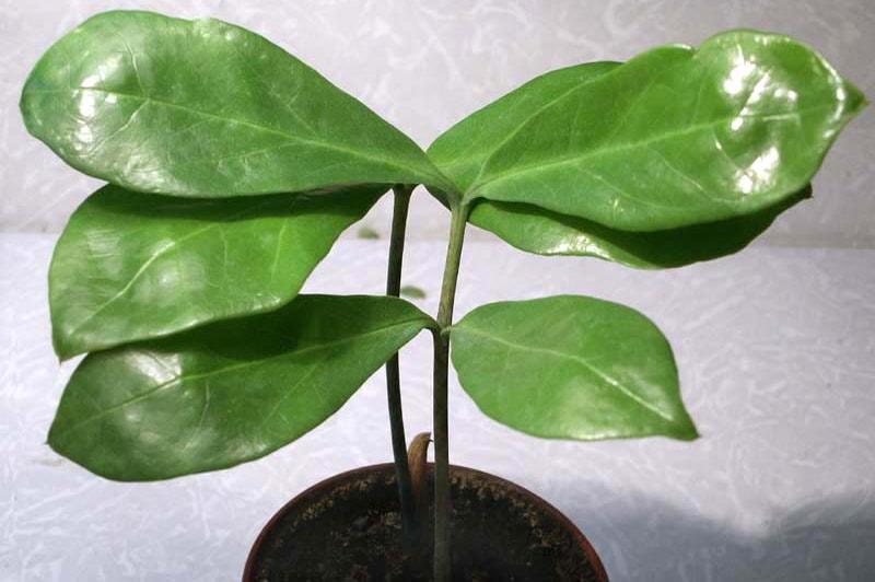 Замиокулькас ланцетовидный (Z. Lancelata)