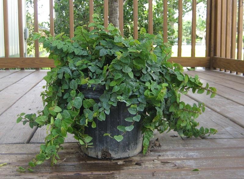 Фикус Карликовый (Ficus pumila)