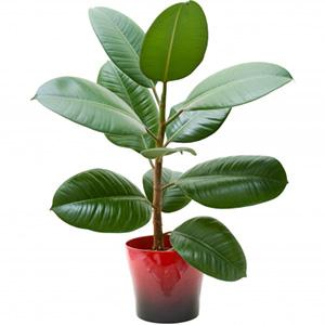 Все про удивительное комнатное растение Фикус Бенджамина: описание видов