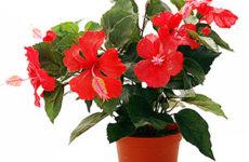 Гибискус — китайская роза
