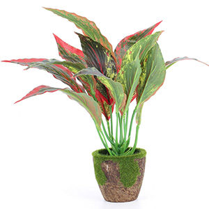 Каладиум — уход, размножение и виды растения