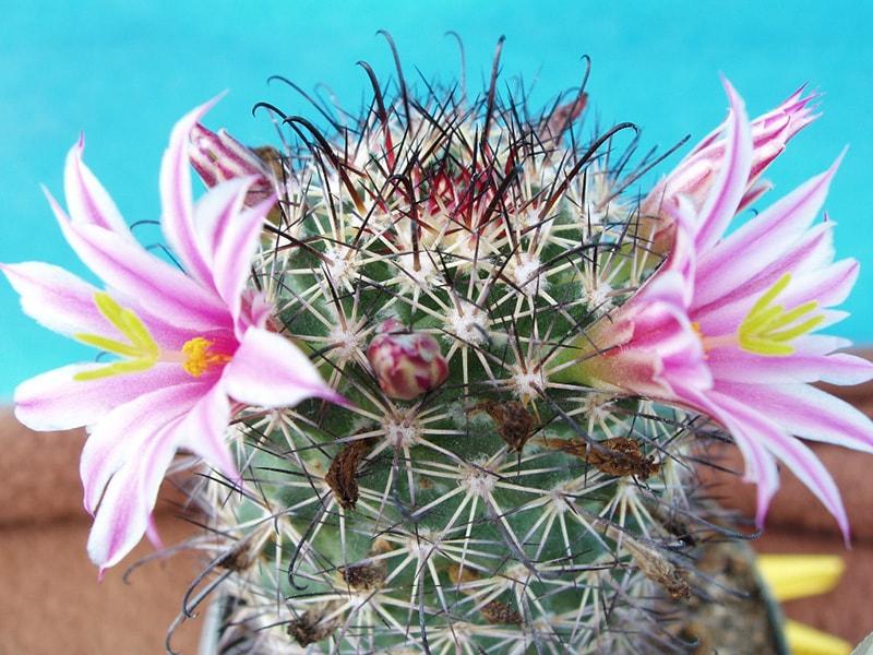 Mammillaria blossfeldiana (Блоссфельда)
