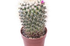Маммиллярия – миниатюрный кактус