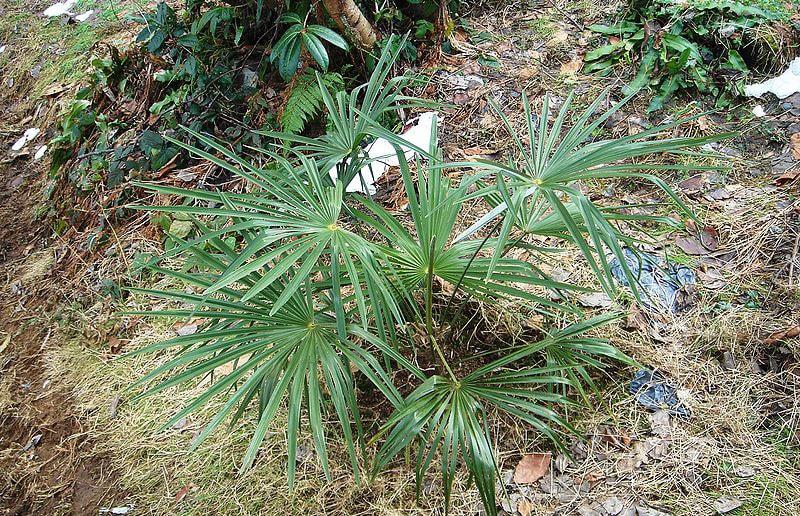 Пальма Вашингтония нитеносная (Washingtonia Filifera)
