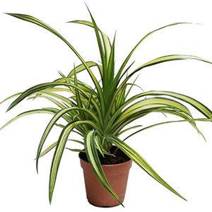 Панданус или винтовая пальма