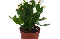 Рипсалидопсис (хатиора) или пасхальный кактус