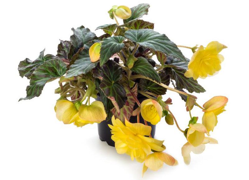 Бегония ампельная (Begonia apadana)