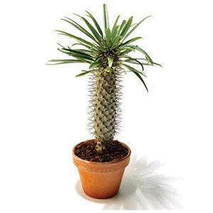 Пахиподиум — мадагаскарская пальма