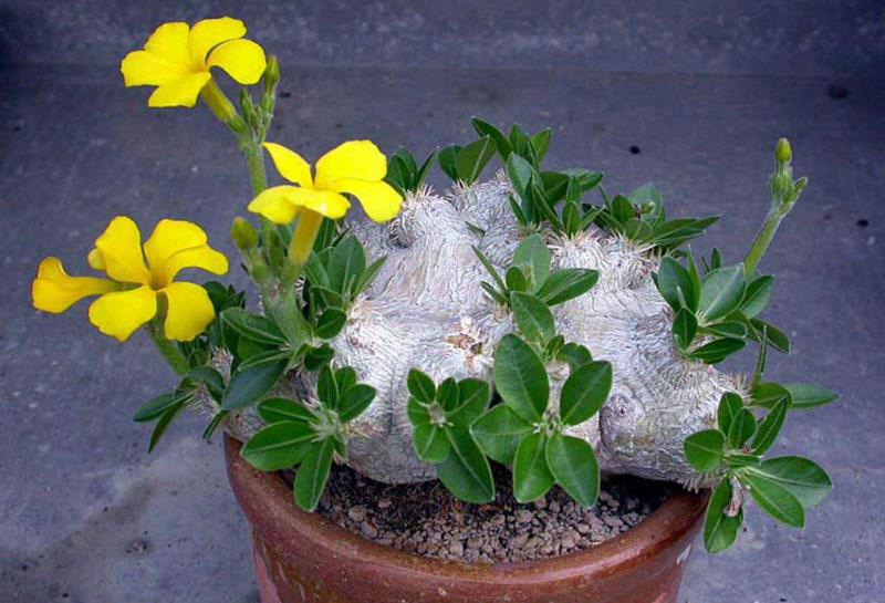 Пахиподиум короткостебельный (Pachypodium brevicaule)