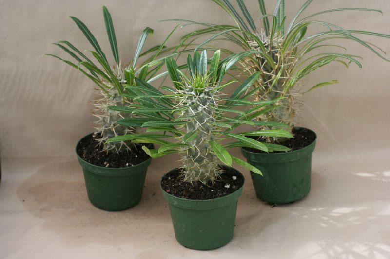 Пахиподиум жайи (Pachypodium geayi)