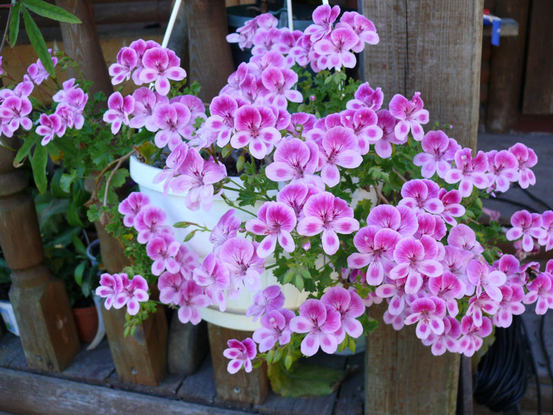 Пеларгонии Ангелы (Angel Pelargonium)