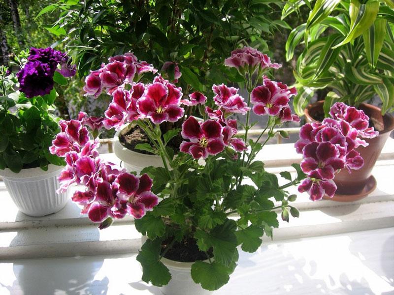 Пеларгония королевская (Pelargonium Regal)