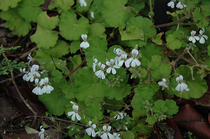 Пеларгония душистая (Pelargonium odoratissimum)