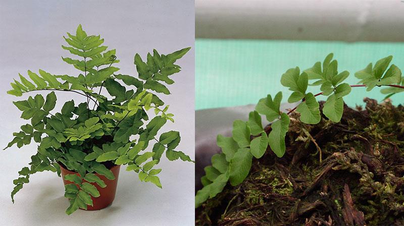 еллея зеленая (Pellaea viridis)