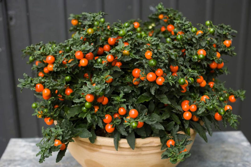 Паслен перцевидный (Solanum capsicastrum)