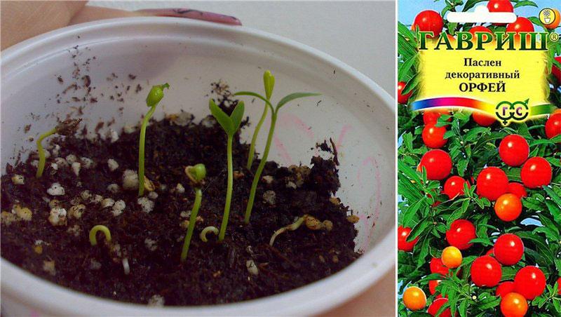 Паслен комнатный — размножение семенами