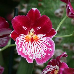 Мильтония – орхидея «анютины глазки»