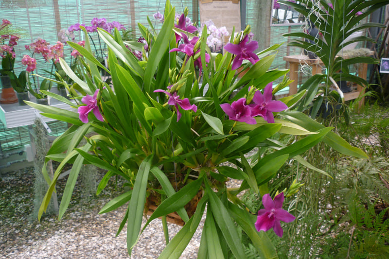 Мильтония Гонолулу (Miltonia Honolulu 'Warne's Best')