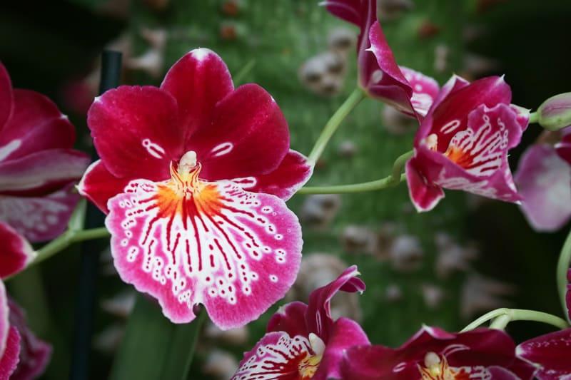 Мильтония Блистательная (Miltonia spectabilis)