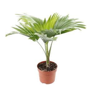 Пальма Ливистона – тропическое обаяние в комнатных помещениях