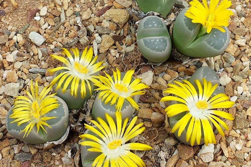 Lithops Olivaceae (Оливково-зеленый)